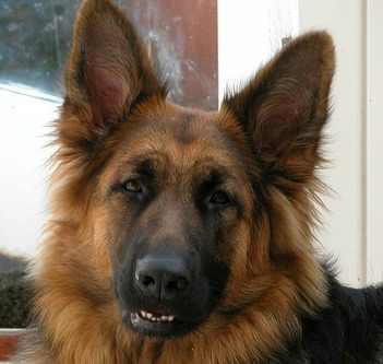 History and Origins of the German Shepherd Dog (Alsatian Dog)