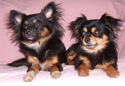 Pomeranian Chihuahua