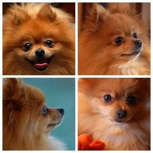 Pomeranians Abandoned Dogs