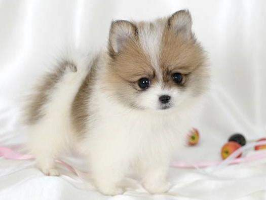 Pomeranians Husky – Are They Hard To Breed?