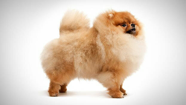 pomeranian breeding