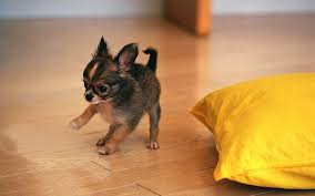 All About The Breed Pomeranian Chihuahua