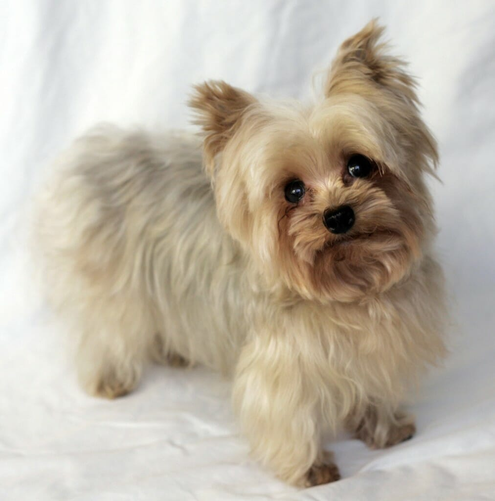 Pomeranian_Yorkie_Mix_Dog