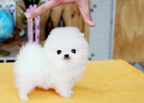 Teacup Pomeranian Read This Before Buying A Teacup Puppy
