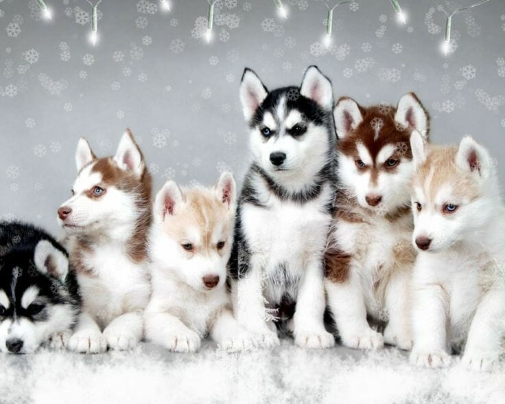 Images Of Husky Dogs: What Is A POMSKY Dog: Pomsky Puppies For Sale Links
