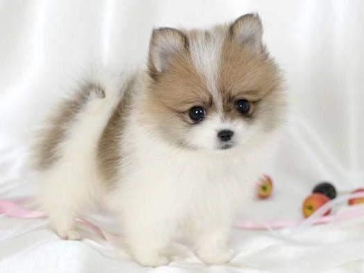 Pomeranians Husky