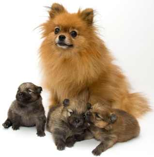 pomeranian-puppies-The Canine Heat Cycle