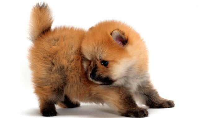 Owning a Pomeranian - What You Need to Know