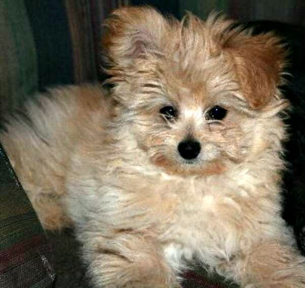 pomeranian mix with poodle pomeranian husky mix information read this before buying 2160