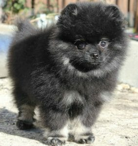 Origin of the Teacup Pomeranian