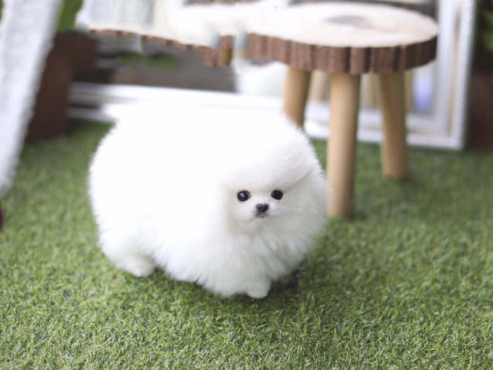 teacup pomeranian full grown