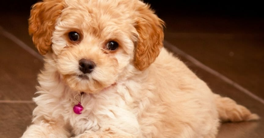 Maltese-Poodle facts