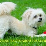 Fascinating Facts About Maltipoo Dogs