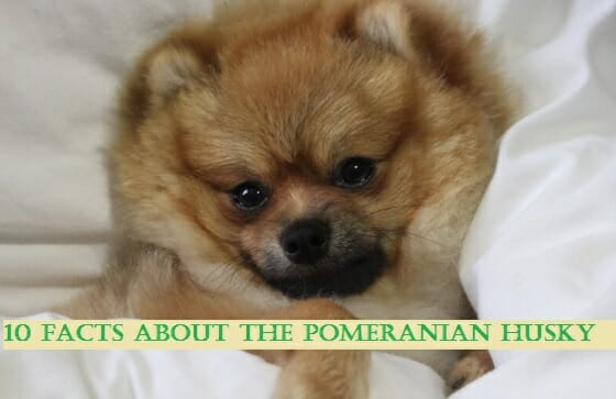 10 Facts About the Pomeranian Husky